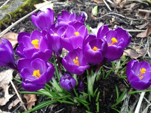 Spring Crocuses in Grandma Dee's Favorite Color