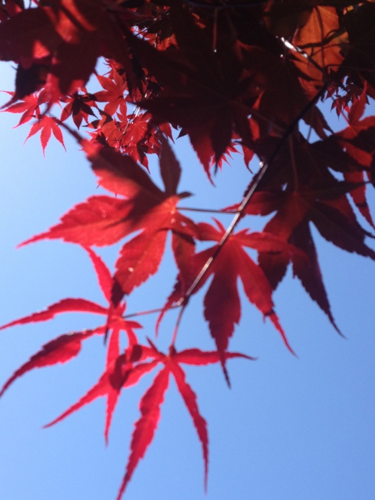 Vivid red leaves against the brilliant blue sky